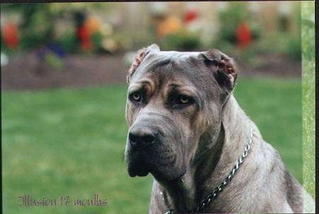 Cane Corso Italiano sitting outside in grass with flowers in the background