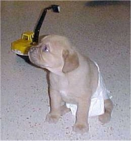 A Cane Corso Italiano puppy waring a diaper sitting on a tan floor with a yellow child's crane toy in the background