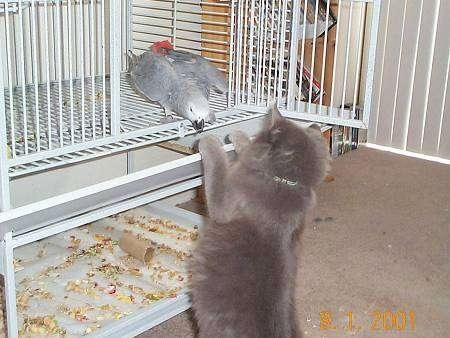 Boris the cat is jumped up at the door entrance of a bird cage and looking at Natasha the African Gray bird who is about to peck her paw
