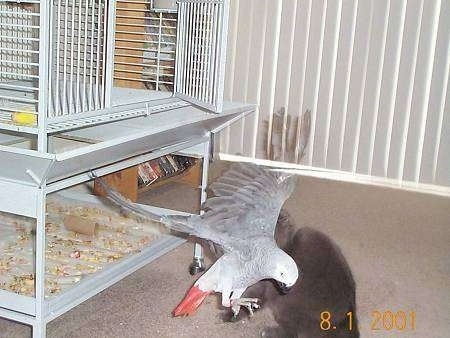 Natasha the bird flying out of the cage towards the cat