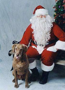 Whiskey the Chesapeake Bay Retriever is sitting next to a Santa Claus that is sitting on a bench with a Christmas tree behind them
