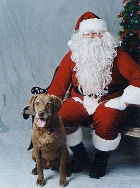 Whiskey the Chesapeake Bay Retriever is sitting next to a Santa Claus that is sitting on a bench. They are in front of a Christmas tree
