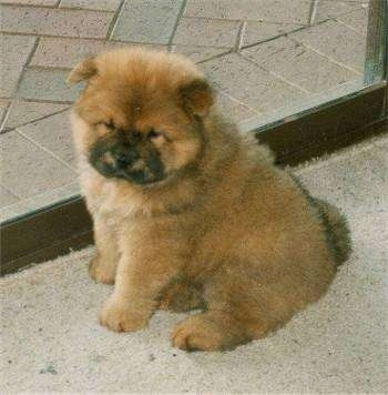 A cute little fluffy brown with black Chow Chow puppy is sitting on a carpet in a doorway and it is looking forward. It looks like a stuffed toy.