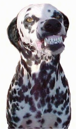 A Dalmatian is sitting and it is showing its teeth