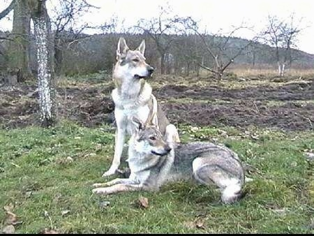 Two Czechoslovakian Wolfdogs are in a field. One is laying down and one is sitting. They are looking to the right