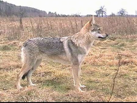 Right Profile - A Czechoslovakian Wolfdog is standing in grass next to a lot of brush