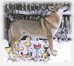 A Czechoslovakian Wolfdog is standing outside in snow behind a myriad of trophies.