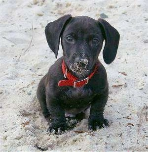 black Dachshund dog puppy