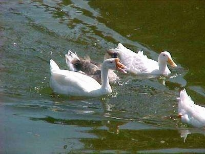 Four ducks are swimming across a body of water.