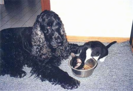 Bleki the black English Cocker Spaniel is laying in front of a food bowl that a black and white cat named Cikita is eating out of