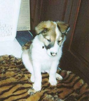 Front view - A brown and white with black Scotch Collie is sitting on a tiger-striped rug and it is looking down. Its small ears fold over to the front in a v-shape.