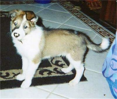 The left side of a tan with white Scotch Collie puppy that is standing on a rug. Its head is tilted to the left and it is turned forward. Its ears are folded over to the front.