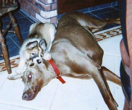 A brown and white with black Scotch Collie puppy is biting the side of a brown Dobermans ears. The Doberman is laying across a tiled floor.