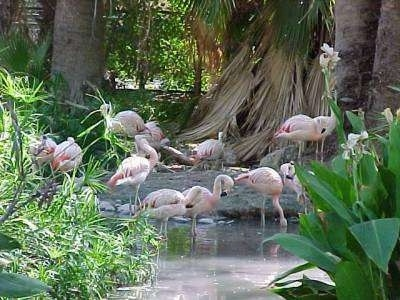 A flock of flamingos standing in the water and waterside