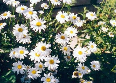 A group of white and yellow daisy flowers. The peddles are white and the center of the flower is yellow.