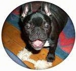 A black with white French Bulldog is standing behind a rope toy with its front legs on a hardwood floor and its back legs on a blue and red carpet. It is looking up, its mouth is open. It looks like it is smiling