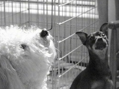 Close Up - A black and white photo of a Bichon Frise and a Min Pin looking up with a dog crate behind them.