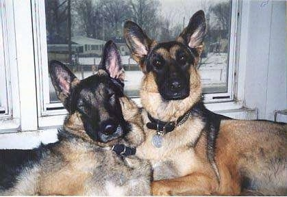 Two German Shepherds are laying face to face to each other in front of a window that shows a view of snow and houses outside.