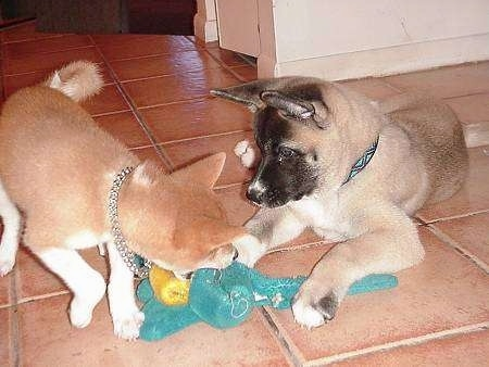 A brown with white Shiba Inu is biting a toy that is in front of a brown with white and black Akita Inu on a brown tiled floor.