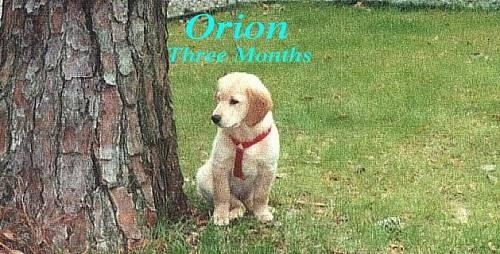 A Golden Retriever puppy is sitting in grass next to a large tree. Overlayed are the words - Orion Three Months.