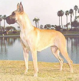 A tan with white Great Dane is standing in grass and there is a body of water and palm trees behind it
