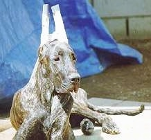 A brown brindle Great Dane is laying on a porch. Its ears are taped up. There is a blue tarp behind it