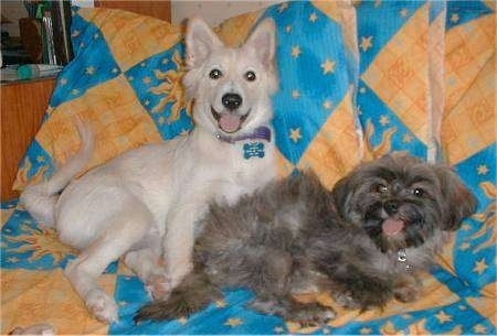A white half Spitz puppy is laying behind a grey and black dog on top of a blue and orange blanket. Both of there mouths are open and tongues are out