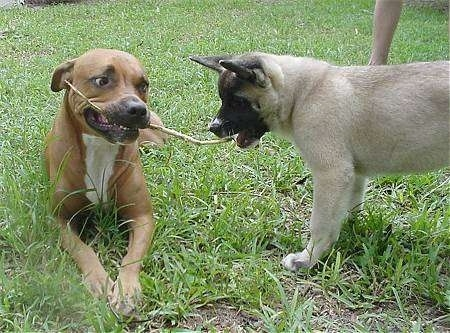 A brown with white American Staffordshire Terrier is laying outside in grass with a stick in its mouth. An Akita Inu puppy is trying to bite the stick