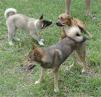 A brown with white American Staffordshire Terrier is laying outside in grass with a stick in its mouth. An Akita Inu is standing next to it and it has the other half of its stick in its mouth. There is a Shikoku dog standing in front of them.