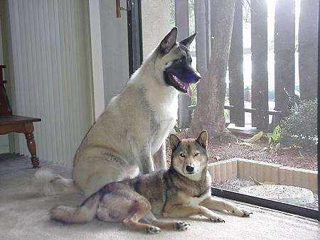 An Akita Inu is laying on a floor next to a white with black Shikoku dog, who is sitting behind it looking out of a sliding door