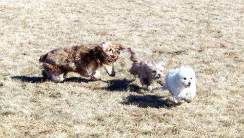 An American Cocker Spaniel and a Yorkie are chasing a white Maltese around a field