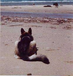 the back of a German Shepherd that is laying down at the beach appearing to stalk two other dogs that are in the distance.