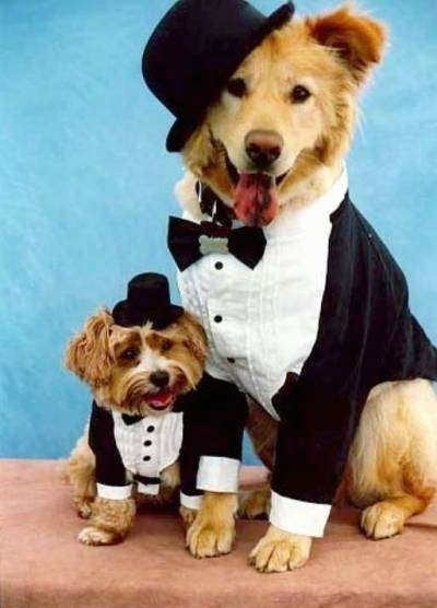 A small brown terrier is sitting next to a larger chow/golden mix dog on a tan surface with a blue background. They are both wearing black and white tuxedo type suits and black top hats.