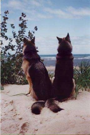 The back of Two German Shepherds sitting in sand peering between plants looking down at the beach