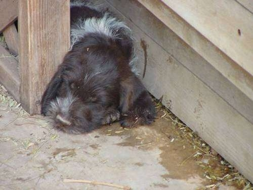 A white and brown German Wirehaired Pointer puppy is sleeping in between a house and a wooden rail