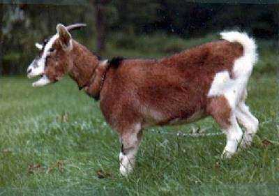 Left Profile - A brown with white and black goat is standing in grass. Its mouth is open.