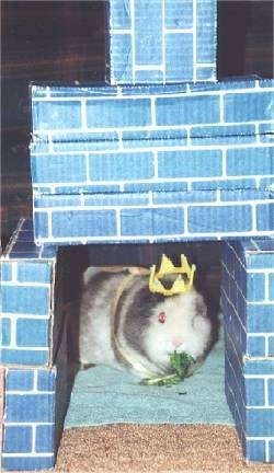A white and gray Guinea Pig is standing on a towel with a piece of lettuce in its mouth. It is wearing a yellow crown. The guinea pig is standing under blue brick textured boxes that are stacked to look like a castle.