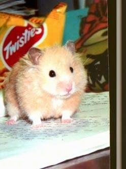 A tan with white hamster is standing on top of a book and it is looking to the right. It looks like a stuffed toy.