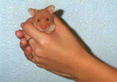 A brown hamster is being held in a person's hands in front of a sky blue wall.