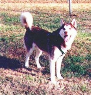 The front left side of a black and white Siberian Husky that is standing in grass, it is looking to the left, its mouth is open and its tongue is out.