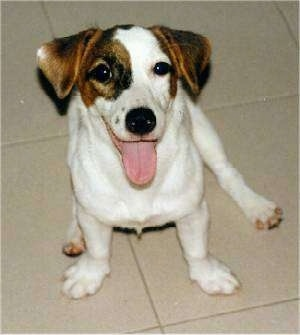 Front side view - A rose eared - white with tan and black Parson Russell Terrier dog is sitting on a tiled floor and it is looking up. Its mouth is open and its tongue is out. It looks like it is smiling.