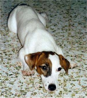 Close up front view - A white with tan and black Parson Russell Terrier puppy is laying down on a tiled floor.