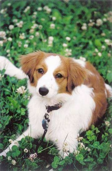 A white with red Kooikerhondje is laying in a field of clover