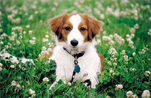 View from the front - A white with red Kooikerhondje is laying in a field of clover and looking forward
