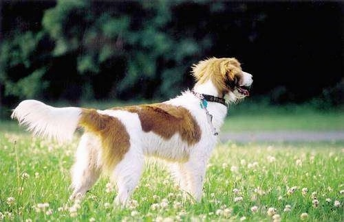 A white with red Kooikerhondje is standing in a field of clover facing a wooded area that is in the distance. Its mouth is open and tongue is out