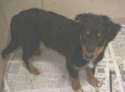 A black with tan Collie/English Shepherd mix puppy is standing on newspapers and looking up.