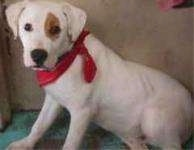 Side view - A white with a tan spot around its eye American Bulldog/Rottweiler mix is sitting on a green floor wearing a red bandana.