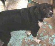 A black with white Labbe is standing on a floor looking up and to the left
