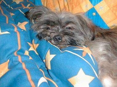 A grey with white Lhasa Apso is laying on a blue and orange blanket and looking very sleepy.
