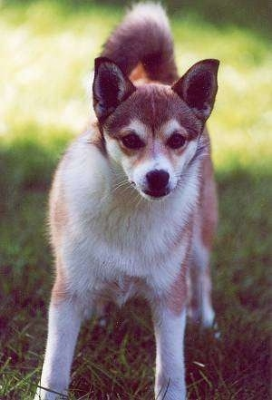 Norwegian Lundehund Dog Image